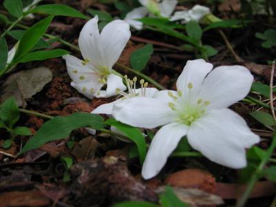 アブラギリ花-1.jpg